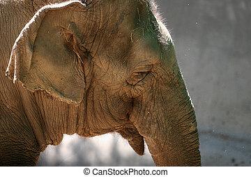 anføreren, elefant