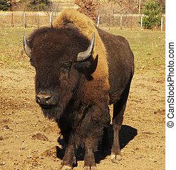 bøffel, amerikaner