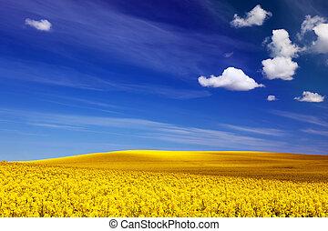 blå blomstrer, rape., sky., forår, baggrunde, gul, solfyldt, felt, landskab
