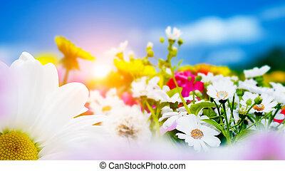 blå, forår, himmel, blomster, felt, herbs., sol, bellis