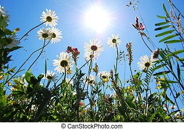 blå, sommer, blomst, himmel, bellis