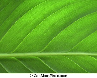 blad, closeup, grønne