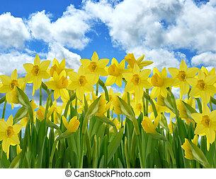 blomster, gul, påskelilje