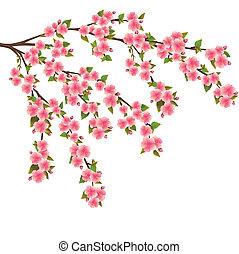 blomstre, kirsebær, hen, -, japansk, træ, sakura, hvid