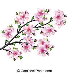 blomstre, kirsebær træ, japansk, isoleret, sakura