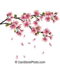 blomstre, kirsebær træ, sakura, japansk