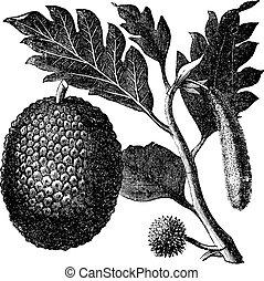 breadfruit, gamle, altilis, artocarpus, artocarpe, eller, engraving.