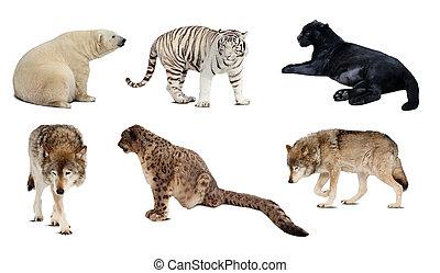 carnivora, hen, isoleret, sæt, mammal., hvid