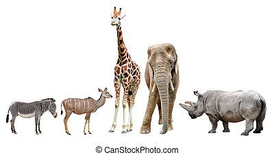 dyr, afrikansk