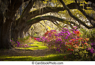 forår, spansk, eg, træer, beplantningen, levende, azalea, mos, blooming, sc, charleston, blomster, blomstringer