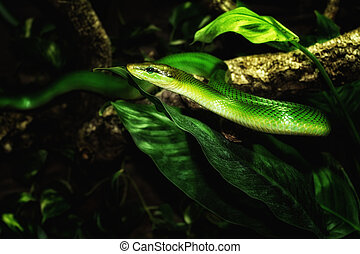 grønnes slange