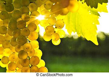 gul, druer