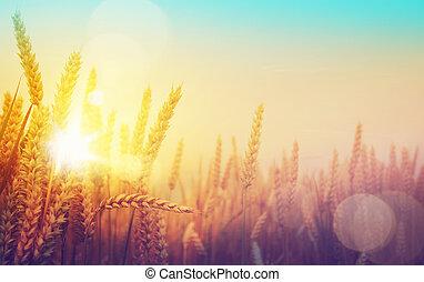 gylden, kunst, solfyldt, felt, hvede, dag