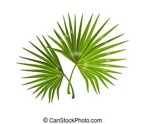 håndflade, naturlig, jungle, ornamental, skønhed, længe, smal, plants., poster., branches, vektor, baggrund, realistiske, tropisk, monstera, skov, grønt, kurbad, leaves., foliage., komposition