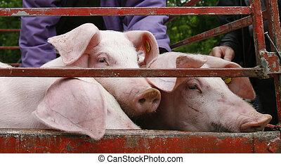 hjemmemarked, grisekød, landbrug, dyr, gris