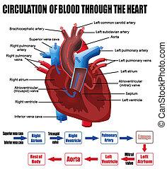 hjerte, igennem, blod, omløb