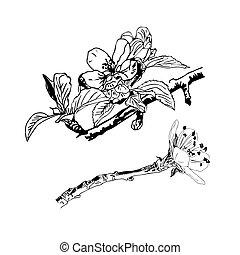 isoleret, realistiske, hvid, baggrund., kirsebær blomstr