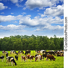 køer, græsgang