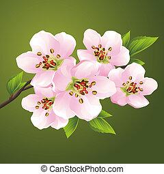 kirsebær, blomstre, -, japansk, træ, sakura