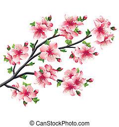 kirsebær træ, japansk, sakura, blomstre, branch