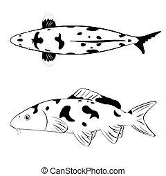 koi, hvid, sort, fish
