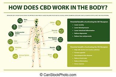 krop, infographic, horisontale, cbd, arbejde, hvordan