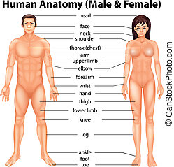krop rolle, menneske