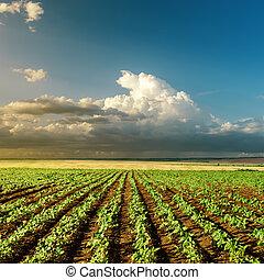 landbrug, grønne, solnedgang felt