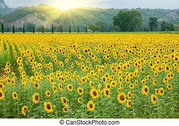 landbrug, solsikke