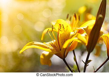 liljer dag, solfyldt, blooming, gul