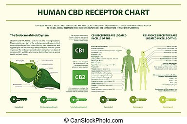 menneske, infographic, kort, horisontale, cbd, receptor