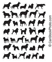 populære, hund, avler