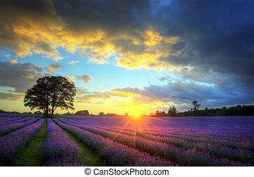smukke, atmosfæriske, moden, pulserende, countryside, felter, image, himmel, lavendel, stunning, solnedgang, engelsk, skyer, hen, landskab