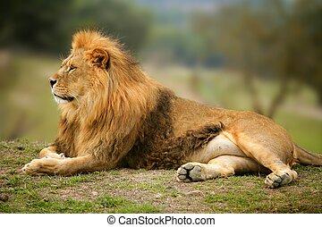 smukke, løve, dyr, vild, portræt, mandlig