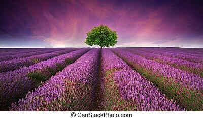 smukke, sommer, contrasting, image, træ, lavendel felt, farver, solnedgang, landskab, horisont, singel