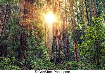 solfyldt, redwood skov