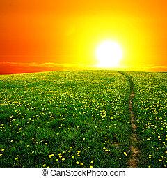 solopgang, mælkebøtte, felt