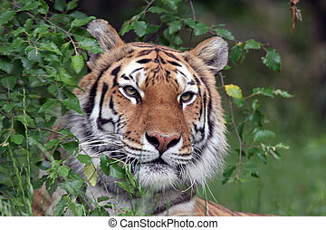 tiger, portræt, sibirisk