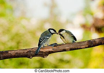 tit, great, fodre fugle