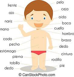 vektor, menneskelig krop rolle, ordforråd, illustration, spansk