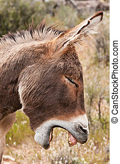 vild, æsel, burro, ørken, nevada