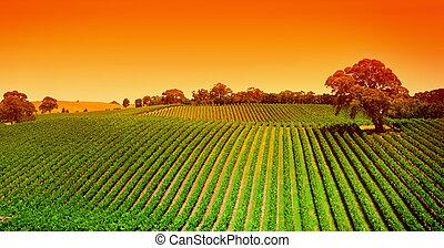 vingård, bakkerne, solopgang